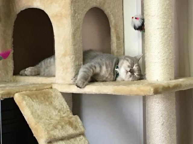 キャットタワーで寝ている猫の写真
